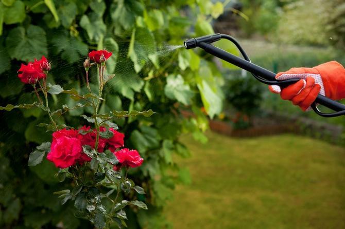 Mszyce na różach – oprysk