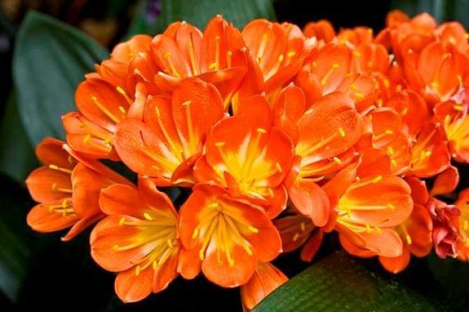 Pięknie kwitnąca Kliwia  zasady  uprawy  dla początkujących