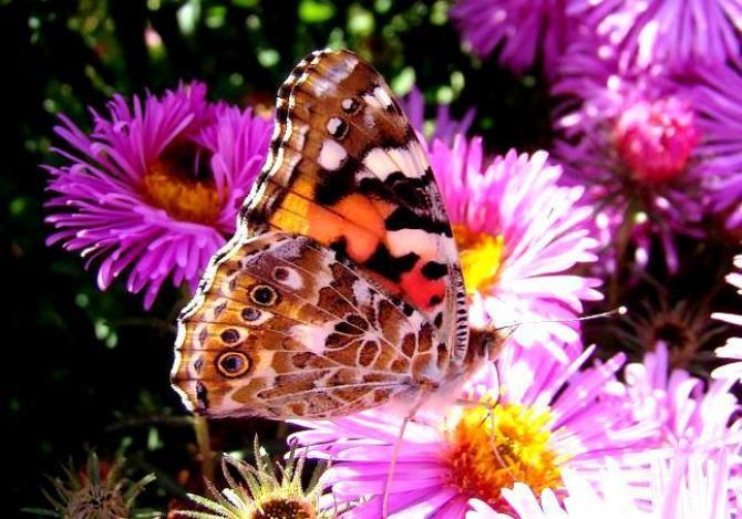 Motyle w ogrodzie  popularne kwiaty wabiące motyle