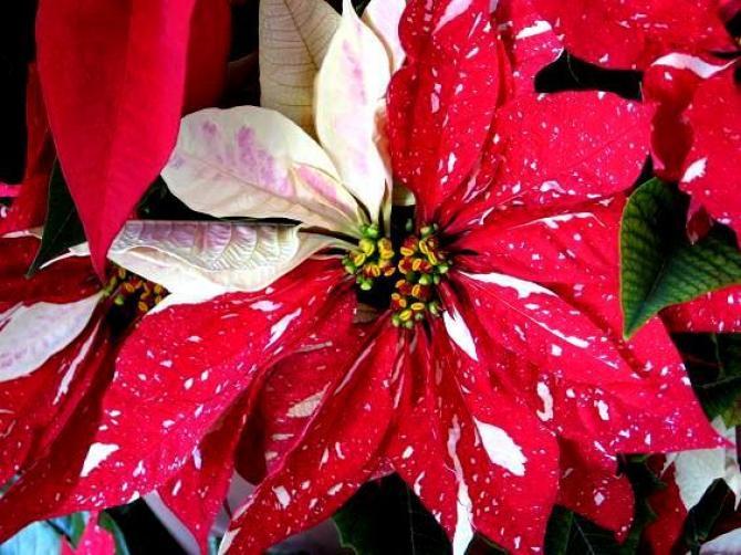 Gwiazda betlejemska - pielęgnacja, czyli jak uprawiać kwiat gwiazdy betlejemskiej