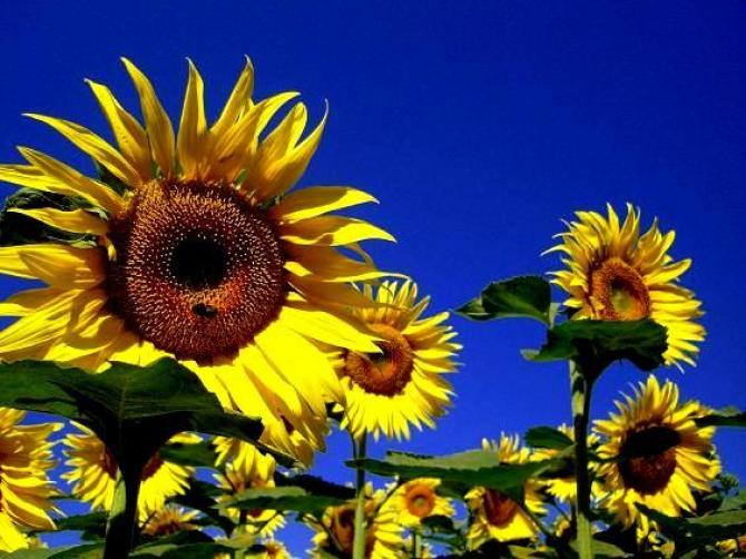 Słoneczniki ozdobne  słoneczne kwiaty