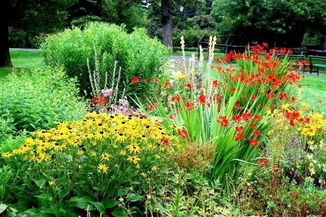 Rudbekie w ogrodzie