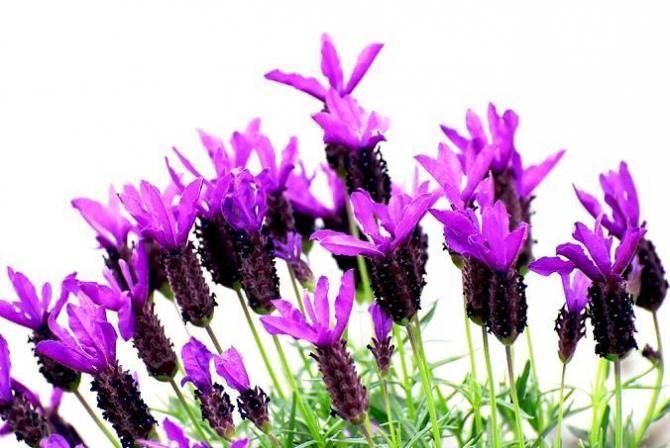 Fioletowe kwiaty  Rośliny w kolorze fioletowym