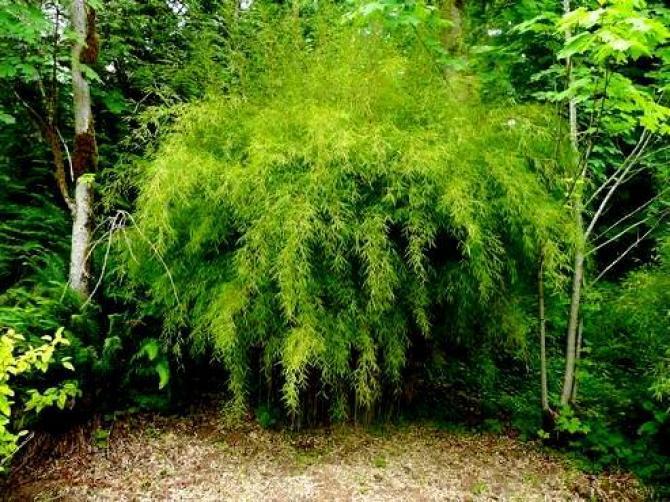 Bambus ogrodowy  uprawa i pielęgnacja