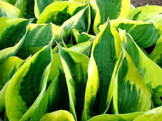 Funkia ogrodowa  uprawa i pielęgnacja funkii