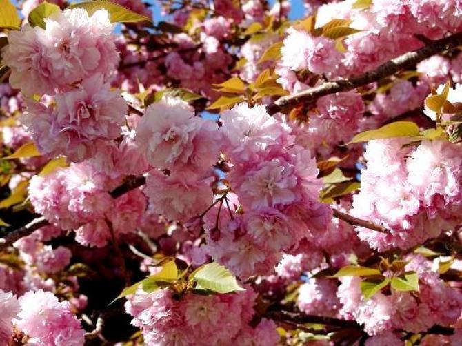 Migdałek - krzew pełen kwiatów