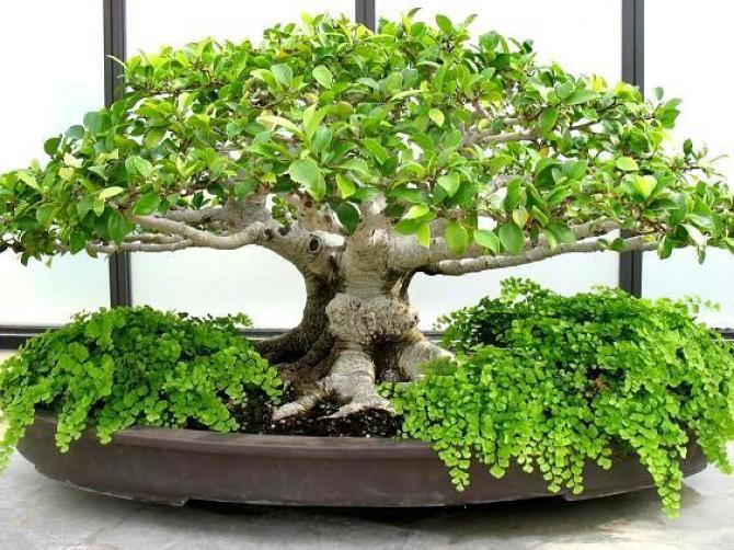 Pielęgnacja bonsai