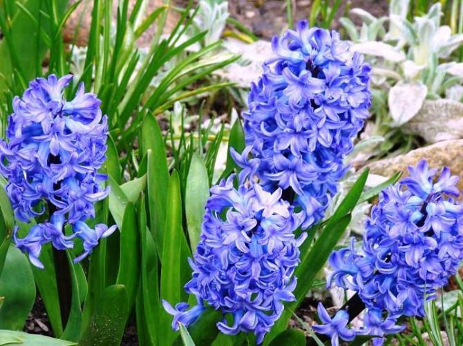 Niebieskie kwiaty  Rośliny o niebieskim kolorze