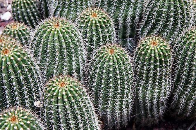 Choroby  kaktusów