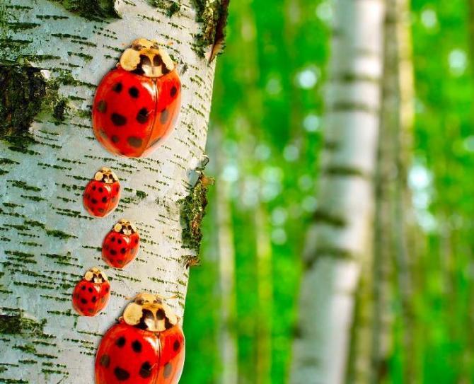 Brzoza brodawkowata (brzoza zwisła)  Betula pendula