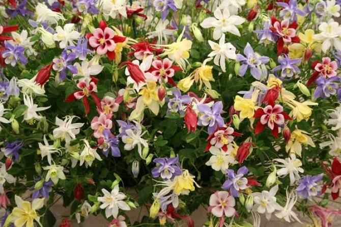 Orliki  kwiaty z charakterem