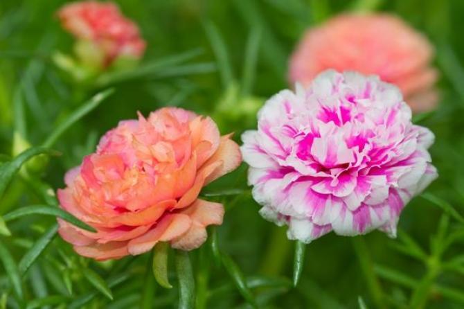Portulaka wielkokwiatowa - Portulaka warzywna