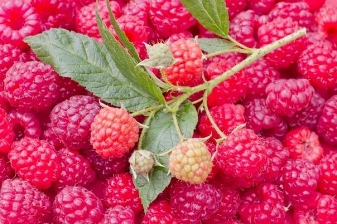 Malina jesienna - uprawa, odmiany i przycinanie