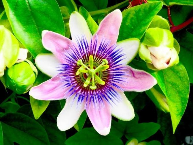 Passiflora (męczennica)  uprawa, pielęgnacja i owoce
