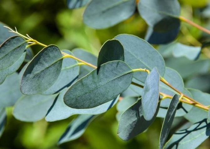 Eukaliptus niebieski  uprawa, sadzonki i zimowanie