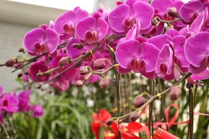 Phalaenopsis - podlewanie, uprawa i rozmnażanie
