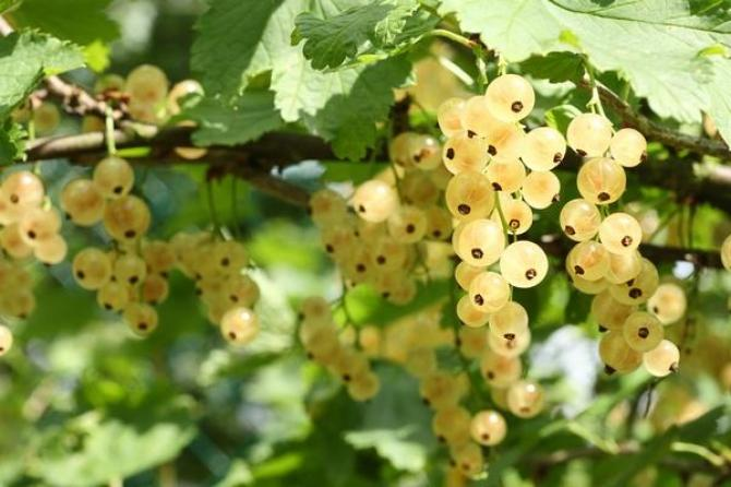Porzeczki białe  uprawa, odmiany i przycinanie