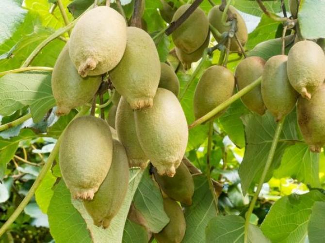 Aktinidia (kiwi)  wskazówki uprawy, pielęgnacji i popularne odmiany