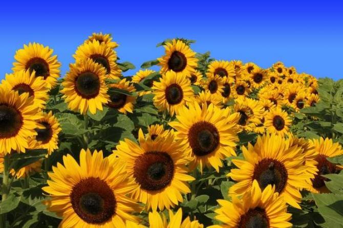 Znalezione obrazy dla zapytania słoneczniki