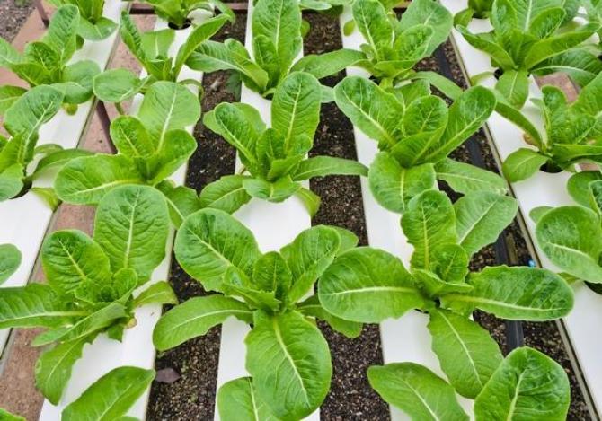 Sałata rzymska  uprawa, odmiany i właściwości odżywcze