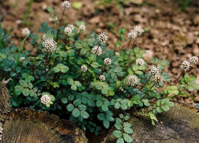 Acena Drobnolistna - Acaena microphylla