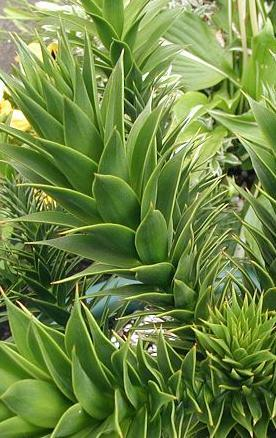 Araukaria chilijska – Araucaria araucana