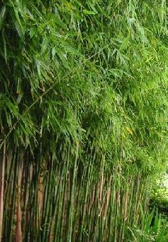 bambus z ocisty phyllostachys aurea byliny. Black Bedroom Furniture Sets. Home Design Ideas