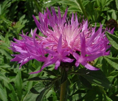 Chaber biały - Centaurea dealbata