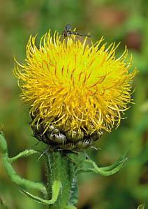 Chaber wielkogłówkowy - Centaurea macrocephala