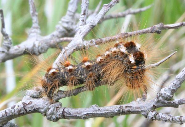 Kuprówka rudnica - Euproctis chrysorrhoea L.