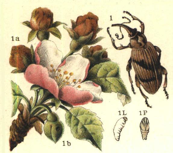 Kwieciak jabłkowiec - Anthonomus pomorum L.