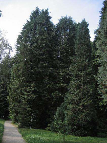 Cyprysik lawsona  – Chamaecyparis lawsoniana