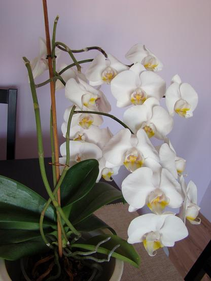 Falenopsis – Phalaenopsis ( storczyk )