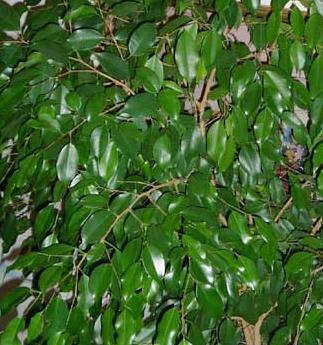 Figowiec Benjamiński, (Beniaminek) - Ficus Benjamina