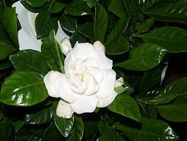 Gardenia jasminoides – Gardenia
