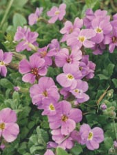 Gęsiówka kaukaska - Arabis caucasica rosea