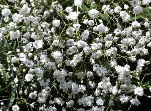 Gipsówka błyszcząca – Gypsophila paniculata