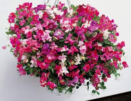 http://www.swiatkwiatow.pl/foto/groszek-pachnacy-lathyrus-odoratus_611.jpg