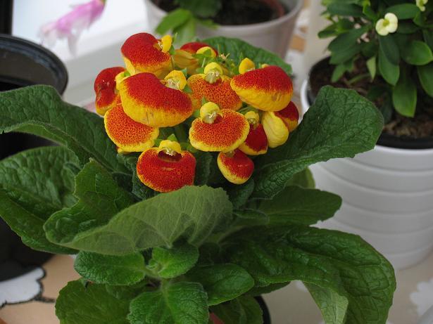 Кальцеолярия выращивание из семян в домашних условиях фото пошагово 52