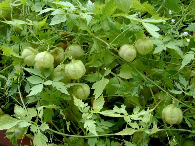 Kardiospermum - Cardiospermum halicacabum