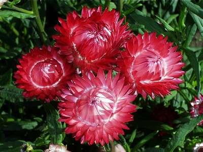 Kocanka Ogrodowa - Helichrysum bracteaum