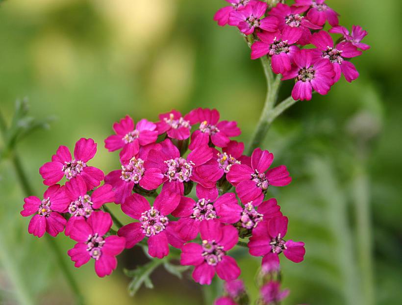 Krwawnik pospolity - Achillea millefolium