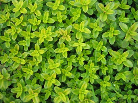 Macierzanka cytrynowa - Thymus citrodorus
