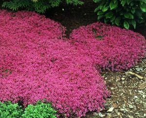 Macierzanka wczesna - Thymus praecox