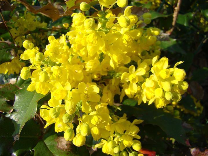 Mahonia pospolita – Mahonia aquifolium