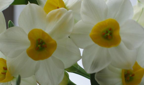 Narcyz kwiaty ozdobne