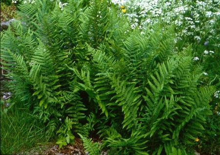 Narecznica samcza – Dryopteris filix-mas
