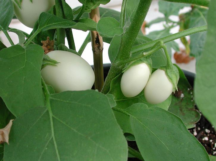 Oberżynka Golden Eggs - Solanum melongena