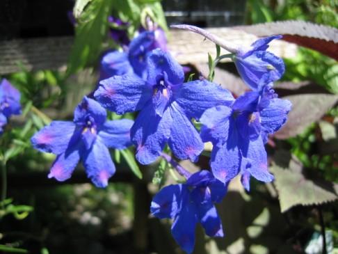 Ostróżka wielkokwiatowa - Delphinium grandiflorum