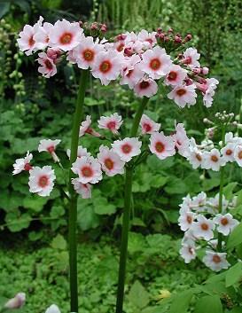 Pierwiosnek japoński - Primula japonica